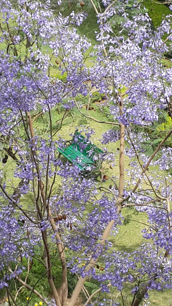 Jacaranda Mimosifolia_NSR
